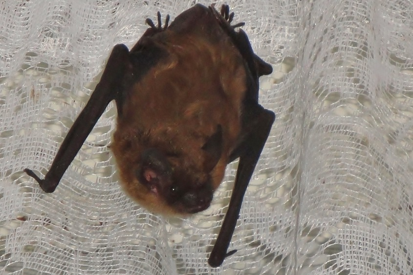 Bats get into homes in Ohio by following cold air currents that are drawn inside due to cracks and holes in houses. Bats can crunch up and push their bodies through the tiniest of cracks and openings in buildings and homes.