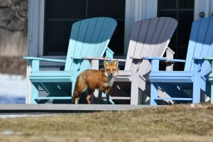 RED FOX WALKING PAST A COTTAGE IN OHIO - The red fox is one of two fox species in Ohio and one of five in North America. The state's other fox is the gray fox. Foxes are trapped in Ohio by the Cottom's Wildlife Removal company when necessary. The best bait for foxes is fresh or canned fish, chicken, pork, eggs, sugar coated vegetables, fishy-smelling cat food, or other types meat. CRW uses humane live cage traps to control and manage coyotes, red foxes, bobcats, rodents, otters, opossums, muskrats, skunks, raccoons, groundhogs, beavers, moles, voles, snakes, coyote and squirrels in Ohio.