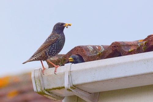 CWR Experts Get Birds Out Out Of Attics, Chimneys, Dryer Vents, Roofs, Garages, Soffits And Houses In Ohio