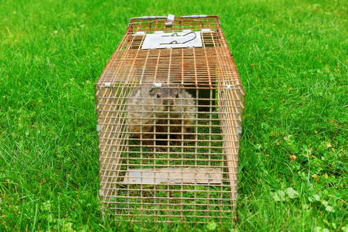 CWR gets groundhogs out of backyards, holes, gardens, garages, car engines and houses in Cleveland and Akron, Ohio.