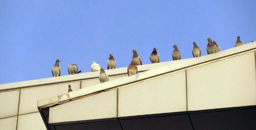 Commercial Pigeon Control Product Installers And Pigeon Removal Services In Ohio