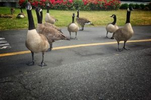 Coping with Canada Geese In Ohio In 2021 - Conflict Management and Damage Prevention Services From The Cottom's Wildlife Removal Company