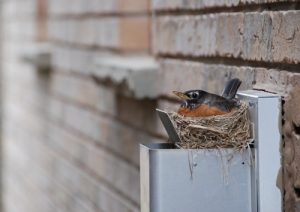 Cottom's Wildlife Removal Company Get Birds And Bird Nests Out Out Of Attics, Chimneys, Dryer Vents, Roofs, Garages, Soffits And Houses For Ohio Residents And Businesses