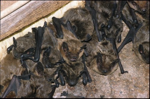 The Cottom's Wildlife Removal Company uses non-lethal exclusion devices and materials to allow bats one-way passage out of attics in houses and structures in Ohio.The exclusion of more than 15 individual bats from a structure during the time period of May 16th through July 31st requires written authorization from the Division of Wildlife (DOW) under Ohio Administrative Code (OAC) 1501:31-15-03.To remove unwanted bats from an attic or building in Ohio, CWR bat control specialists place an exclusion device over the bat's main entrance and they also seal all the other holes and open gaps in the roof voids, eaves, soffits, dormers, chimney, gutters, broken shingles, gable vents or awnings.