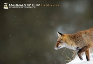 """Download the """"Mammals Of Ohio Field Guide"""" from the Ohio Department Of Wildlife, here. This booklet is produced by the ODNR Division of Wildlife as a free publication."""