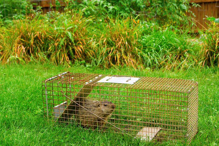Call 614-300-2763 To Request Humane Groundhog Trapping And Removal Services In Columbus And Franklin County, Ohio