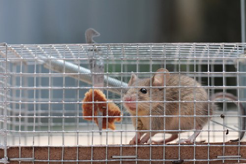 How Much Does It Cost To Get Rid Of Mice? In Ohio, call CWR at 440-236-8114 in Cleveland, 614-300-2763 in Columbus or 513-808-9530 in Cincinnati to schedule an inspection and to get a written quote for CRW to get rid of mice.
