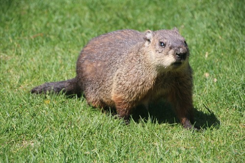 JULY 27, 2021 - CWR gets rid of groundhogs for people that live in Columbus and Franklin County, Ohio. The Cottom's Wildlife Removal company knows how to get rid of groundhogs yards and gardens, safely and humanely.