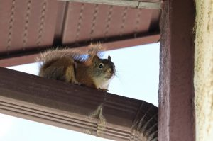 How To Get Rid Of Squirrels In Ohio - Squirrel Removal From Attics - Chimneys - Roofs - Walls - Fireplaces - Yards and Lofts