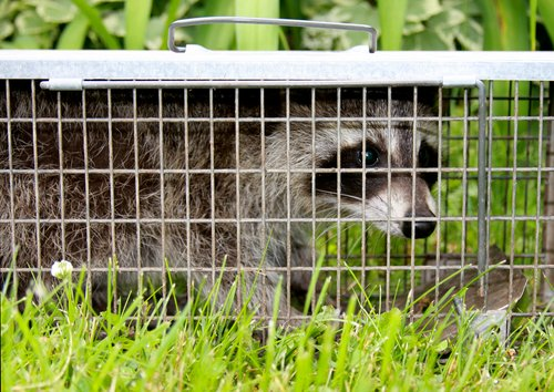 How much does it cost for a professional to remove raccoons from attic? In Ohio, call CWR at 440-236-8114 in Cleveland, 614-300-2763 in Columbus or 513-808-9530 in Cincinnati to schedule an inspection and to get a written quote for CRW to remove raccoons from your attic.