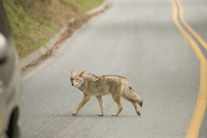 JULY 30, 2021 - In 2020, a coyote attacked and bit a police officer in Columbus, Ohio. The coyote is not native to Ohio, but it is present throughout the state today. Mike Cottom Sr. has been trapping coyotes in Ohio since 1986.