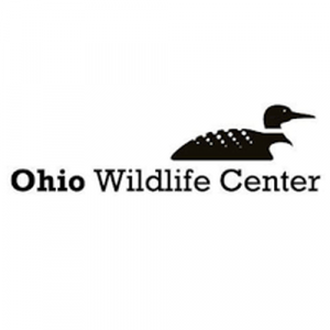 The Ohio Wildlife Center, is located in Powell, Ohio (614-734-9453) and was founded in 1984. It offers humane pest control and animal rehabilitation services while fostering awareness and appreciation for Ohio's native wildlife through rehabilitation, education and wildlife health studies. They are a 501c3 nonprofit that operates the state's largest, donation-supported Wildlife Hospital with on-site veterinary care. They serve the local community and state in wildlife rescues and rehabilitation. The Center receives no operational funds from any local, state, or federal government tax funding. The Ohio Wildlife Center is a premier nonprofit wildlife rehabilitation organization, nationally recognized as an authority on native Ohio wildlife issues. The Ohio Wildlife Center was founded in 1984 by Animal Care Unlimited veterinarian, Dr. Donald L. Burton. The Ohio Wildlife Center's Hospital (614-793-9453) is located at 2661 Billingsley Rd, Columbus, OH 43235. Ohio Wildlife Center partners with hundreds of volunteers across all areas of the organization to make their mission possible. Volunteers can normally choose to work in wildlife care, education, InfoLine services, transport, produce pickup, special events, community outreach, and office support.