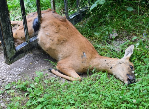 PICTURED HERE IS A DEAD DEER IN A BACKYARD IN OHIO - JUNE 10, 2021 - Who do you call to pick up a dead deer? The Cottom's Wildlife Removal (CWR) company removes and picks up deer carcasses and dead animals in Cleveland, Columbus, Cincinnati, Toledo, Dayton, Cleveland Heights, Akron, Marietta, Youngstown, Strongsville, Athens, Hamilton, Painesville, Canton, Springfield, Zanesville and other Ohio cities. Call CRW at 440-236-8114 in Cleveland/Northern Ohio, 614-300-2763 in Columbus/Central Ohio or 614-300-2763 in Cincinnati/Southern Ohio. How much does it cost to remove a dead deer in Ohio? Deer carcass removal and large animal removal costs start at $395.