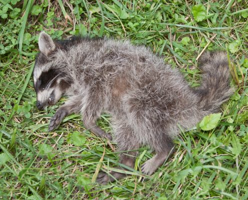 """PICTURED HERE IS A DEAD RACCOON THAT WAS REMOVED FROM A YARD IN CLEVELAND, OHIO BY THE COTTOM'S WILDLIFE REMOVAL COMPANY - It is important to keep dead raccoons out of pools, houses, yards, basements and attics. Raccoon feces contains the eggs of a worm which can infect humans and cause severe neurologic illness. CWR is a professional wildlife removal company headquartered in Ohio that first finds, and then gets dead raccoons and deceased animals out of houses, walls and attics in Ohio. The animal control specialists at CWR get deadmice, dead snakes,birds, squirrels, deer, skunks,opossums and bats out of businesses, homes, apartments, sheds, outbuildings, garages, basements, backyards, vents, pools, chimneys, ductwork and from under decks and porches. If you are searching online for """"dead animal removal near me"""", """"how to get rid of a dead animal in your yard"""" or """"dead animal removal cost"""" and you live in Cleveland, Columbus, Cincinnati or another city in Ohio call 440-236-8114 in Cleveland, 614-300-2763 in Columbus or 513-808-9530 in Cincinnati. When you contact CWR by phone, you can request a quote for animal carcass removal services and schedule a good time to have a dead animal located, picked up, taken away and disposed of. CWR dead animal removal experts also eliminate dead animal smells in houses and outside for Ohio residents.As domestic animal carcasses and pets decompose, bacteria is released that exposes people to disease causing pathogens. Owners of pets and domestic animals in Ohio are responsible for their disposal.The risk to humans from animal carcasses is low if proper precautions are taken.CWR's wild animal feces removal, bird dropping removal and bat guano removal services in Ohio start at $495."""