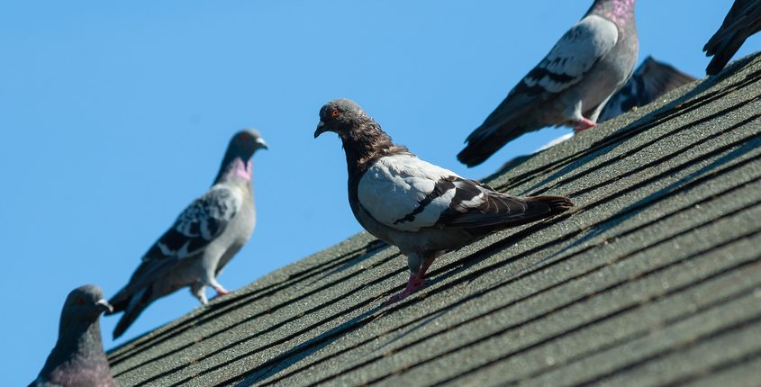 Pigeon Control And Removal Services In Ohio And Pigeon Removal Costs
