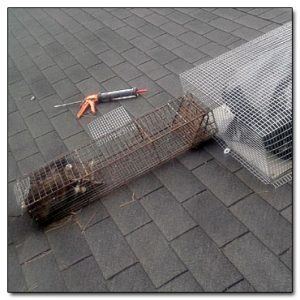 Costs To Remove Raccoons Start At $299 | Under Porches And Decks $299 to $600 | Removal From Attics, Damage Repair, Sealing Of Attics $1,500 To $4,000 | Attic Insulation Replacement $4 Per Square Foot | Call 614-300-2763 To Get Rid Of Raccoons Quickly, Safely & Humanely | Hilliard, Dublin, Westerville, Worthington, Upper Arlington, New Albany, Reynoldsburg, Pickerington, Grove City, Gahanna | Raccoon Removal Trapping, Removal Services | Columbus & Central Ohio