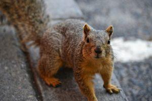 Squirrel Control And Squirrel Extermination Services For Columbus, Cleveland And Cincinnati Ohio Homeowners
