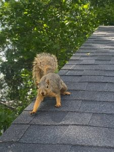 Pictured Here Is A Squirrel On Roof Of A Suburban Home In Westerville Ohio