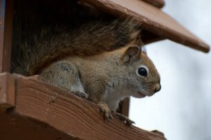 Squirrel Removal And Live Cage Trapping In Cleveland, Lorain, Elyria, Toledo, Akron, Sandusky, Canton, Strongsville And Lakewood Ohio
