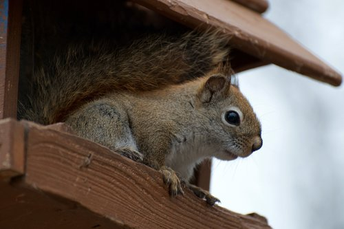 Squirrel Removal And Cage Trapping Costs From $299+ In Columbus, Springfield, Marion, Mount Vernon, Zanesville, Westerville, New Albany, Worthington, Dublin, Reynoldsburg, Pickerington, Mansfield, Chillicothe, Marysville, Delaware, Grove City, Canal Winchester And Central Ohio