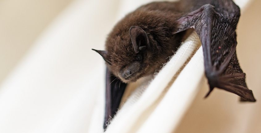 The Cottom's Wildlife Removal Company Gets Rid Of Bats In Ohio All Year Long