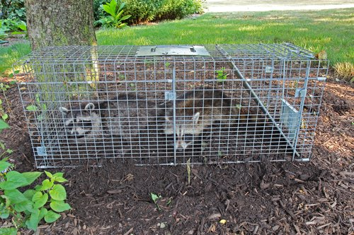 Trapping And Relocating Wildlife And Bird Nests In Ohio Is NOT A Good Long-Term Solution And Is Illegal In Certain Situations - Find Out How To Live Peacefully With Raccoons, Squirrels And Groundhogs In Ohio