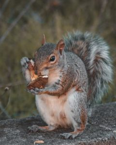 What To Do About Squirrels | From The Humane Society of the United States | Squirrels and bird feeders | Squirrel damage in your yard and garden | Squirrels nesting in the attic | Squirrels nesting in the chimney | A squirrel loose in the house