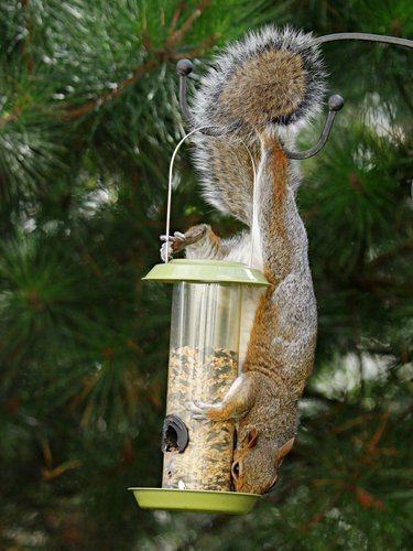 What To Do If You've Got Squirrels In Your Attic | Find the point of entry | Find out if it's a mother squirrel with young | Get them out | Keep them out