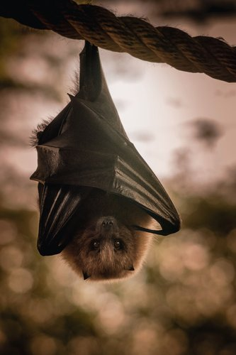 When Can You Remove And Get Rid Of Bats In Ohio? Individual bats can be removed from houses in Ohio year round. However, according to Ohio law, a small colony of 15 or more bats can not be removed between May 16 and July 31 because this is the time of year that young bats can notsafely fly away.