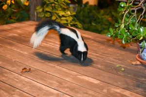 Who Do You Call To Trap And Remove A Skunk In Ohio - Cottom's Wildlife Removal Company