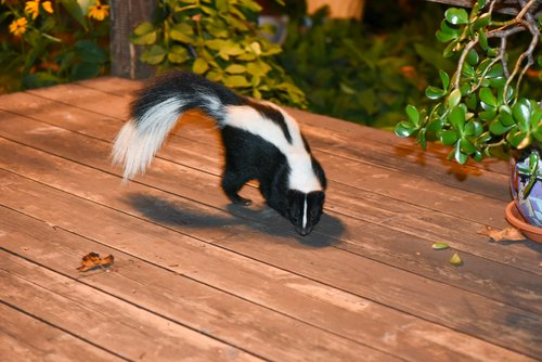 Who Do You Call To Trap And Remove A Skunk In Ohio? Cottom's Wildlife Removal Company