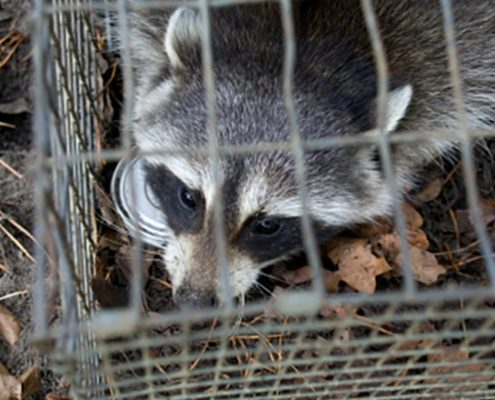 Wildlife Control - Animal Removal - Pest Control - Squirrel Removal - Raccoon Trapping Services - Bat And Bird Removal - Columbus Ohio