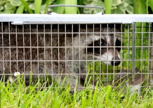 Wildlife Removal Cleveland - CWR Traps And Removes Wildlife, Wild Animals, Nuisance Wildlife, Raccoons, Birds, Rodents, Bats, From Attics And Houses In Cuyahoga County And Other Northern Ohio Cities
