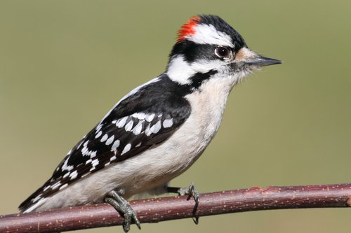 Woodpecker Removal, Management, Control And Trapping Services Near Cleveland, Columbus And Cincinnati For Ohio Homeowners