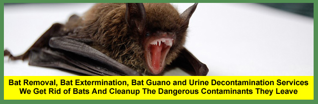 Bat Removal, Bat Extermination, Bat Guano and Bat Urine Decontamination Services for Homeowners and Businesses in Cleveland and Akron, Ohio.