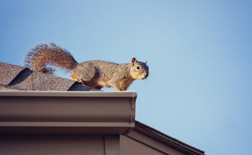 Cottom's Wildlife Removal Is One Of The Best Squirrel Removal Companies And Repair Services Near You In Columbus, Cleveland, Cincinnati, Dayton, Akron And Canton Ohio