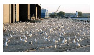 Seagulls On Factory Roof Causing Environmental Damage