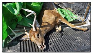 Call Cottom's Wildlife To Remove a Dead Deer From Your Property