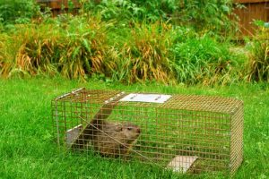 Pictured here is a nuisance groundhog (woodchuck) that was caught in a live trap by Cottom's Wildlife Removal company for a customer in Cleveland. Groundhogs in Ohio are a nuisance around gardens, farms, building foundations and yards. The Cottom's Wildlife Removal company gets groundhogs out of yards, holes, gardens, garages, trees, crawl spaces, trees, car engines and from under sheds and houses.