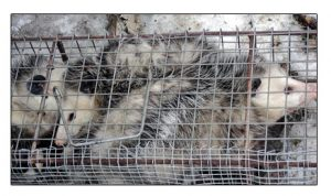 Possums Trapped For A Customer in Cleveland, Ohio.