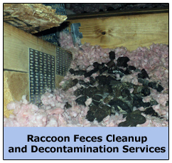 Raccoon Feces in Crawl Space in Cleveland Home
