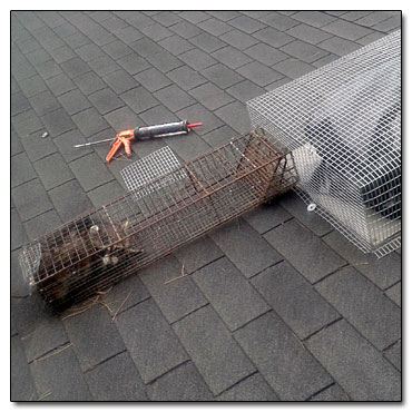 Raccoon in Trap On Roof Which Was Removed From a Home in Cleveland, Ohio