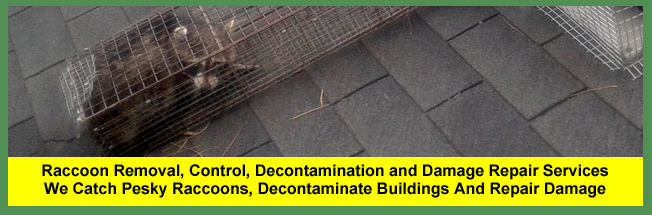 Raccoon Trapping, Raccoon Removal, Raccoon Control, Exclusion, Decontamination and Damage Repair Services for Cleveland and Akron Homeowners and Businesses