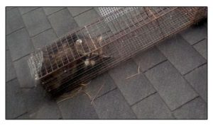 Raccon trapped on roof of house in Cleveland, Ohio which was removed humanely.