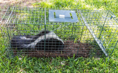The Cottom's Wildlife Removal company uses live traps to catch skunks in Cleveland, Columbus And Cincinnati Ohio