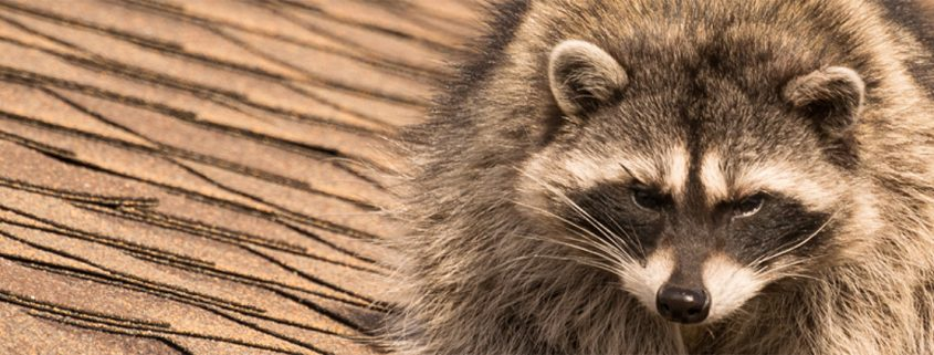 Before you try to clean an attic after a raccoon infestation, you have to firstget rid of raccoonsand keep them out