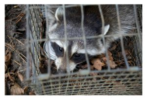 Trapped Raccoon in Cage